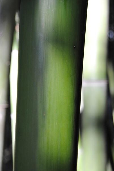Primo piano di una nostra canna di bambù verde