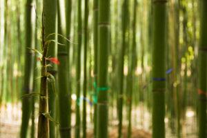 canna bambu bambuseto