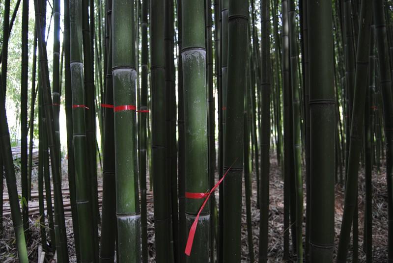 Canne segnate provenienti dal nostro bambuseto