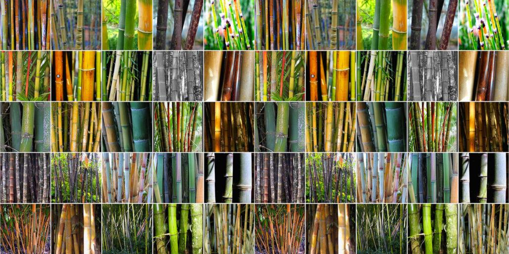 Variet Di Bamb.Il Bambu Bambuseto