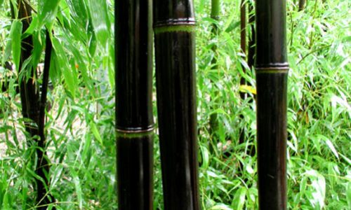 thumb-dark-bamboo
